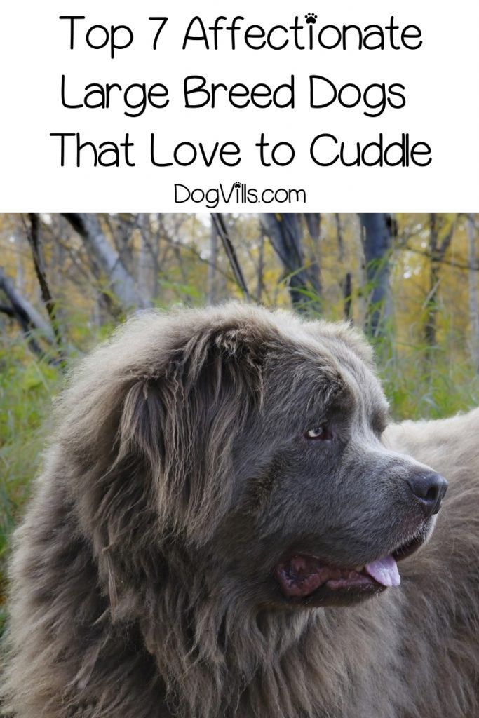 Looking for the most affectionate large dog breeds? Check out the top 7 large pups who love a good cuddle with their people!