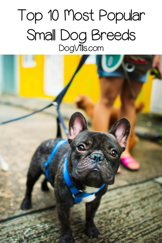 Curious about the top 10 most popular small dog breeds? Wondering if the poodle ranks higher than the Beagle? How does the Frenchie factor in? Find out!