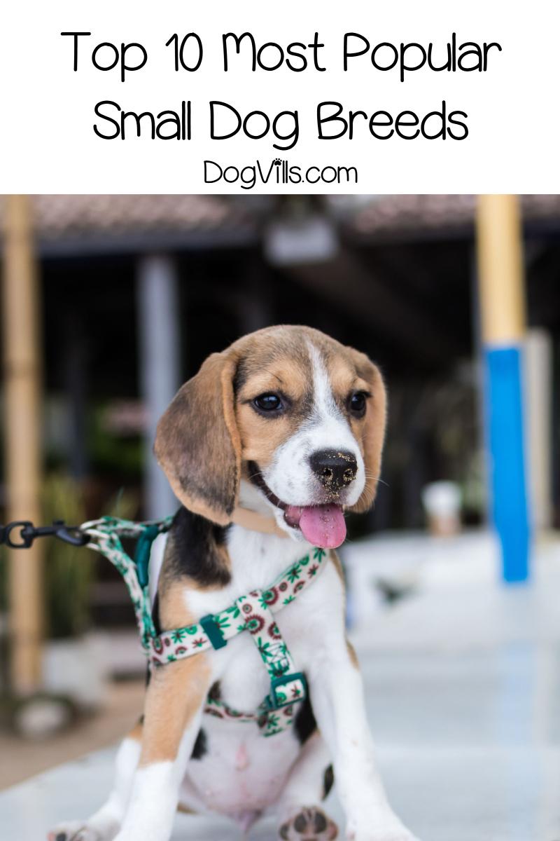 10 most popular small dog breeds