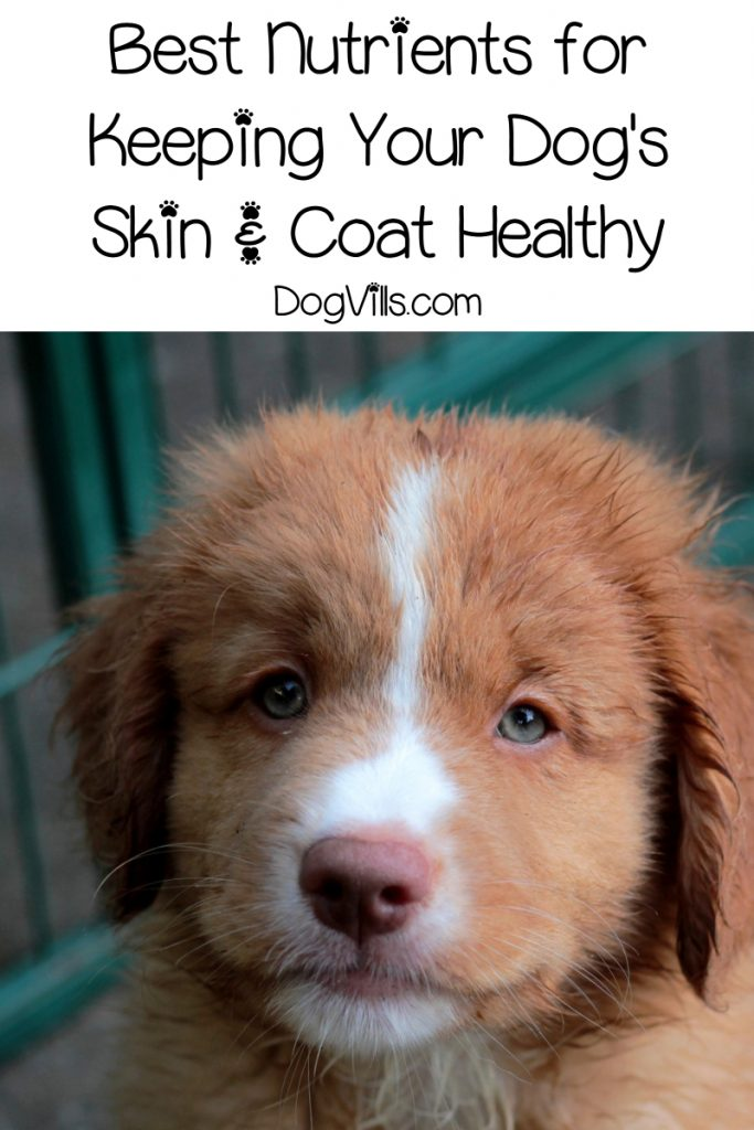 Want to learn about proper nutrition for maintaining healthy skin and coats for your dog? Check out these must-know tips!