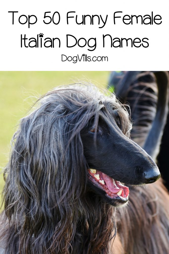 Looking for funny Italian dog names? We rounded up 100+ of the cleverest ideas for male & female dogs. We even threw in some strictly Sicilian dog names! Check it out!