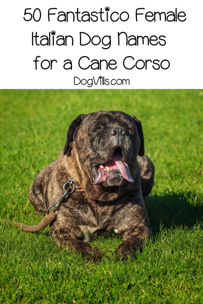 Looking for magnifico Italian dog names for cane corso puppies? Check out the top 100 for both male & female pups!
