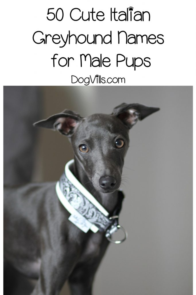 Looking for the best Italian Greyhound names? We've got you covered! Check out 100 beautiful ideas straight out of Italy that we adore!