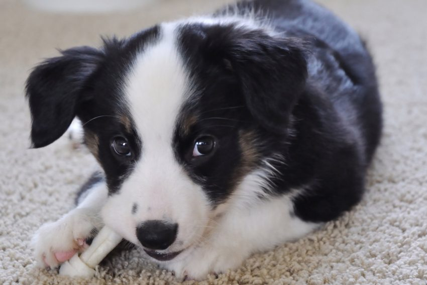 Can puppies have rawhide chew sticks? If so, at what age? What on earth is rawhide made of anyway? Find out the answer to all and more!