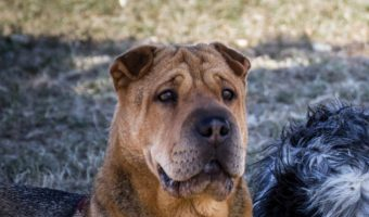 The Shar Pei Lab mix combines the size of Labradors and the crinkled cuteness of the Shar Pei. Read on to know more about this dog breed as a pet.
