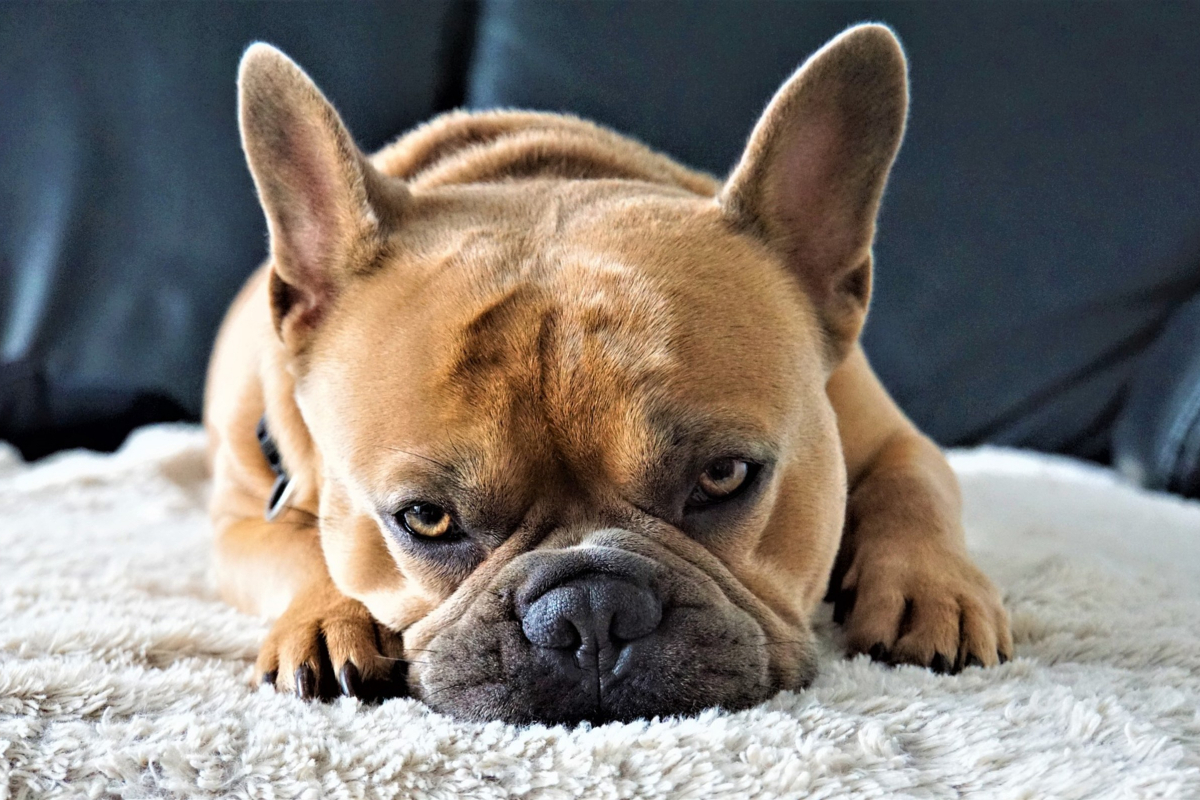 Top 10 Best Dog Beds For French Bulldogs Dogvills