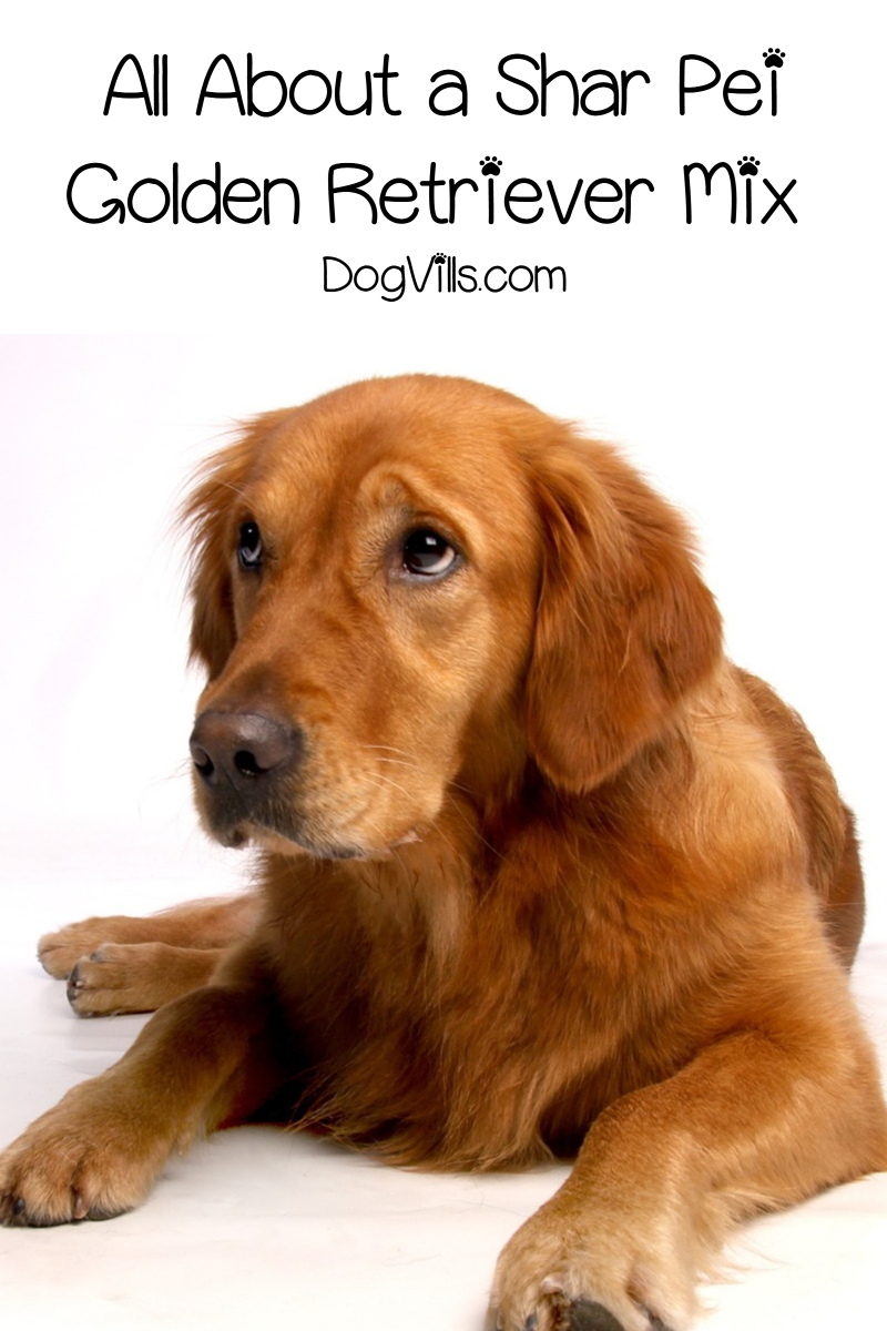 Shar Pei Golden Retriever Mix: What You Need to Know