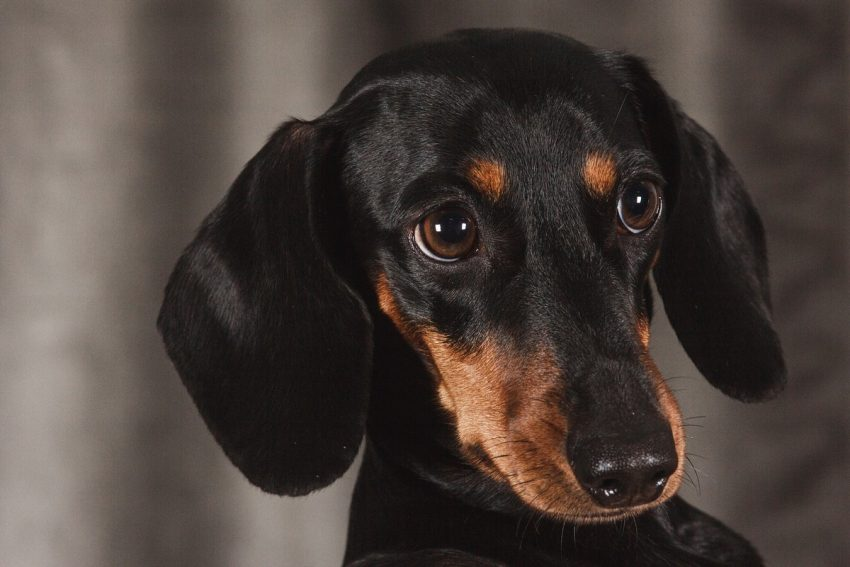 What are the best dog beds for Dachshunds? That's exactly what we're discussing today! Check out our top 10 picks!