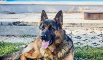 Looking for some beautiful German Shepherd quotes to celebrate your love for America's 2nd favorite dog? Check out 15 that we love!