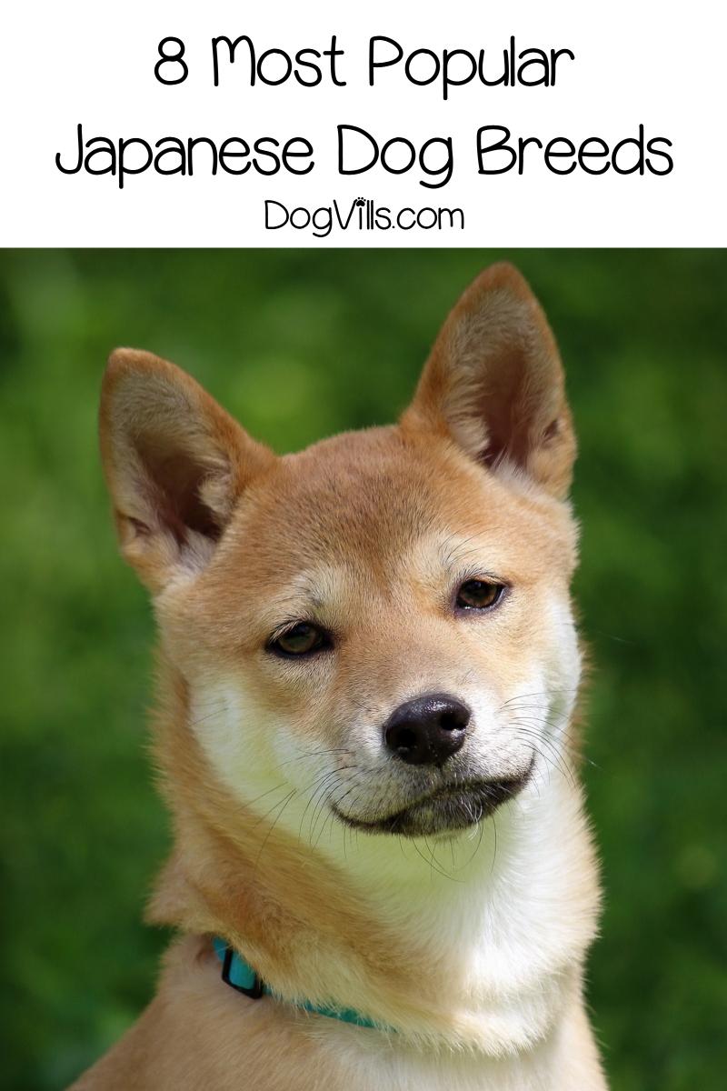 8 Most Popular Japanese Dog Breeds