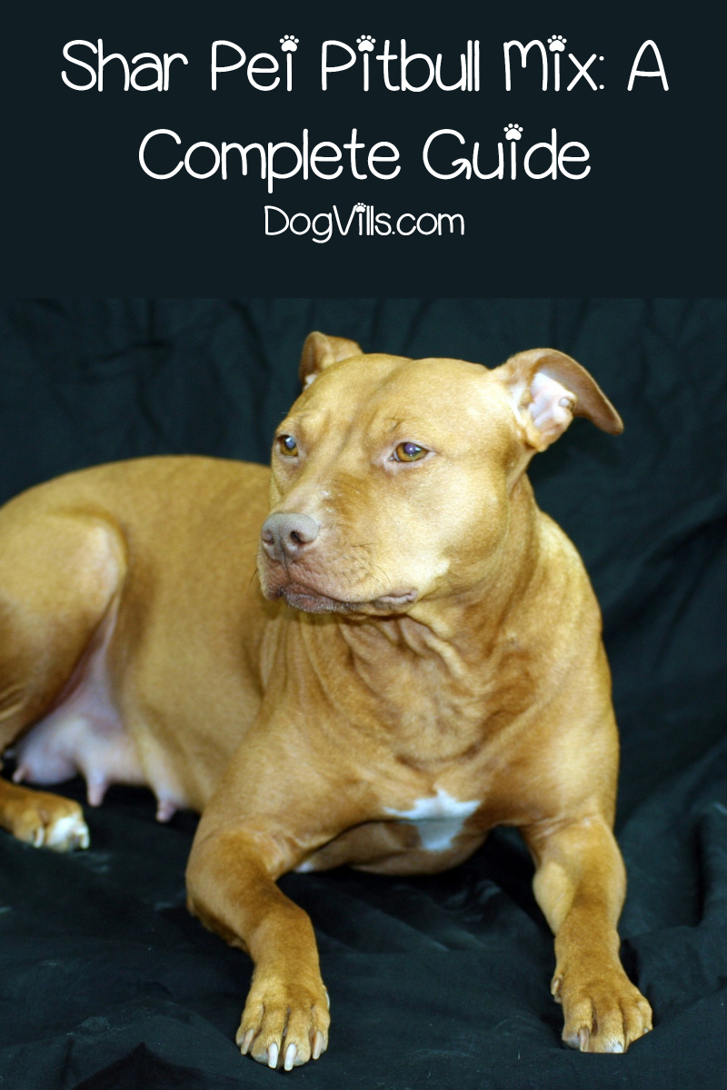 Shar Pei Pitbull Mix: Everything You Need to Know
