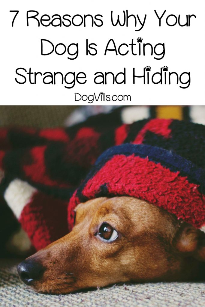 Have you noticed that your dog is acting strange and hiding? Worried about this sudden odd behavior? Find out what could be the cause.