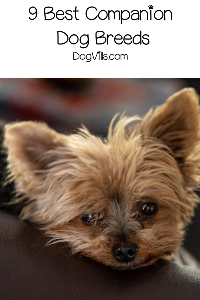 9 Good Companion Dog Breeds to Adopt