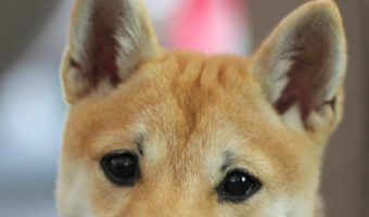 Having a hard time finding some great Shiba Inu names for your new pup? No worries, we've got you covered! Check out 100 that you'll love!