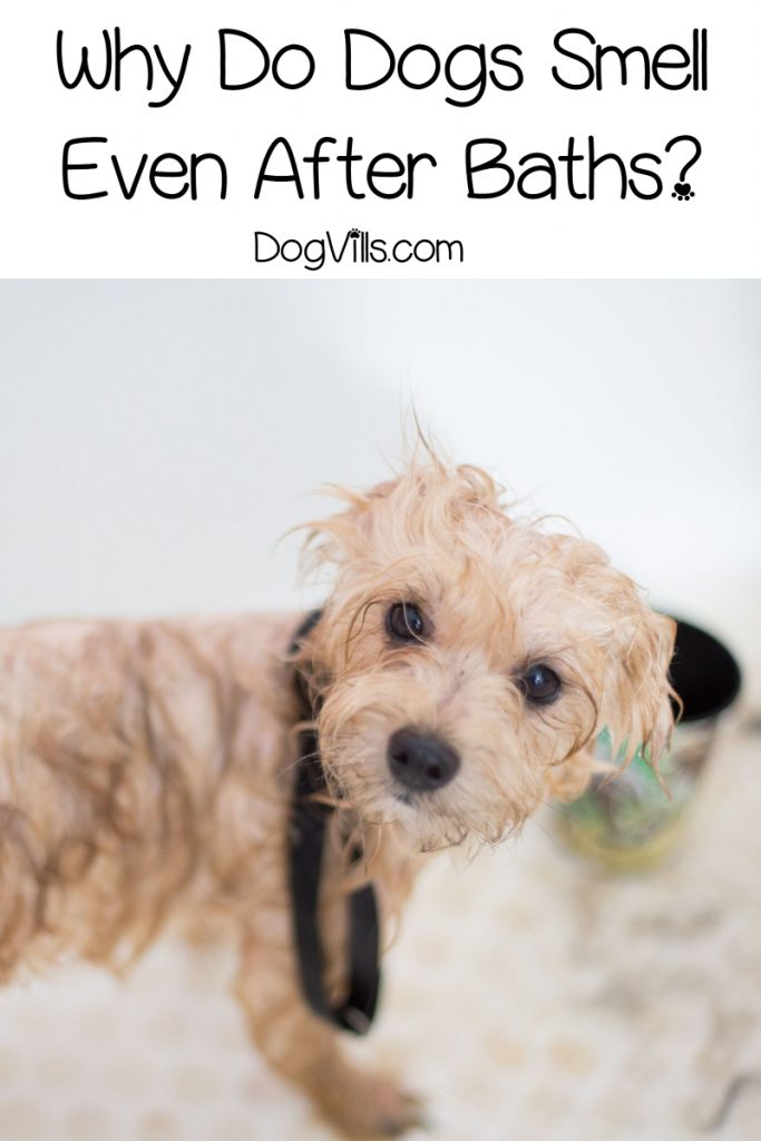 Why Does My dog Smell Even After a Bath? Read on to find out the answer!