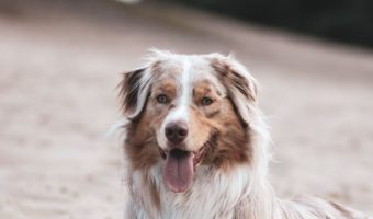 Looking for some adorable Australian Shepherd dog names? How about 95 of them? We've chosen the best inspired by all the features of this gorgeous dog!