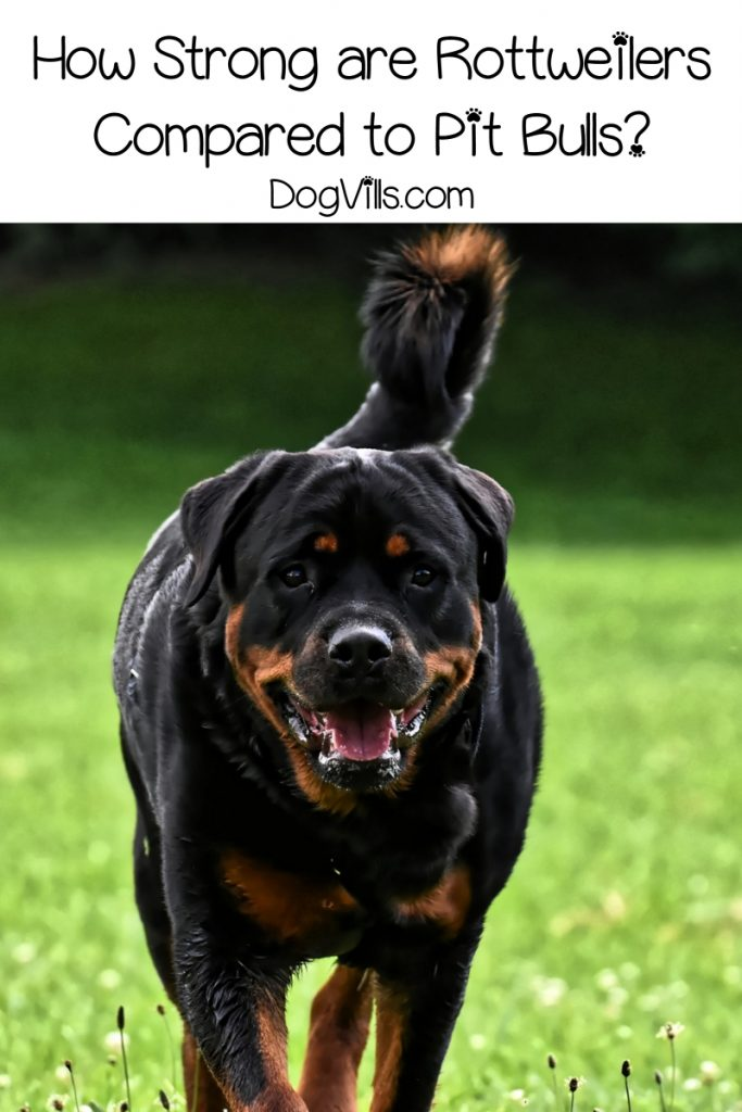 Rottweiler or Pit bull-which dog is stronger? The answer may surprise you! Read on to find out what it is and learn more about the breed that comes out on top.