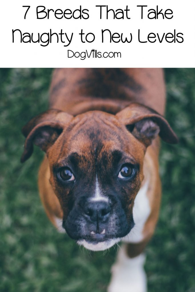 Have you ever wondered about the most naughty dog breeds? Here are the top 7 that will definitely keep you on your toes! Check it out!