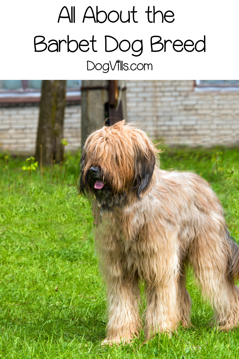 The Barbet Dog Breed