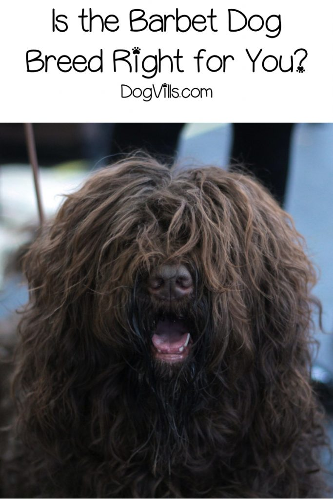 "If you follow AKC news, you know they recently welcomed the Barbet dog breed to their list of ""recognized"" breeds. Read on to learn all about him!"