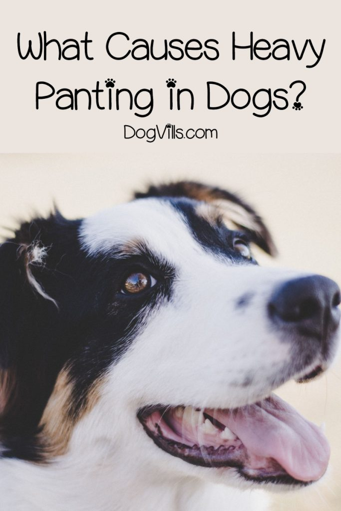 Why is my dog panting and restless? Knowing the causes of heavy panting in dogs can help you decide what to do. Read on to learn more.