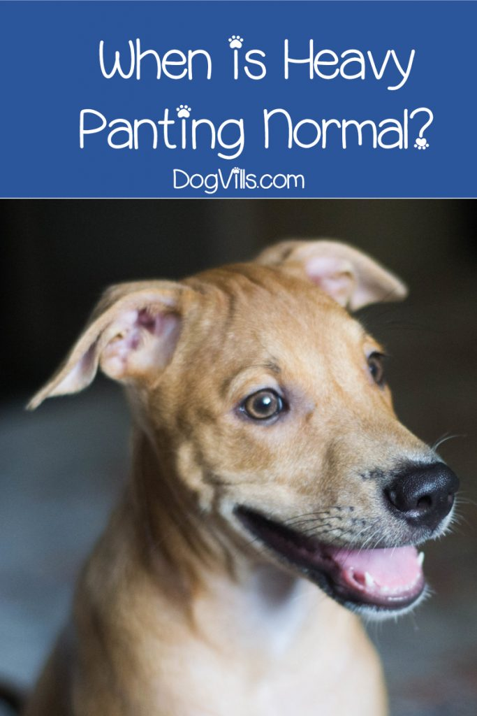 Why is my dog panting and restless? While sometimes it means nothing, sometimes, it's a symptom of some bad things happening inside our pooch. Read on to learn the difference.