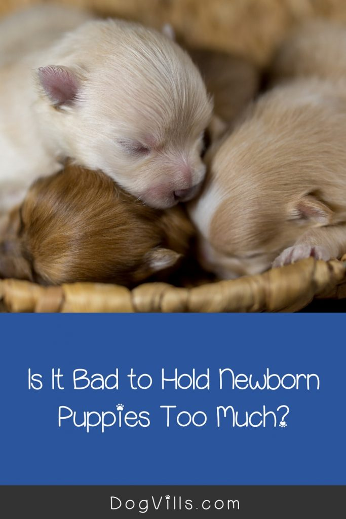 Are you wondering if it's bad to hold newborn puppies too much? Worried mom will reject them? Read on for a few guidelines that will help you out!