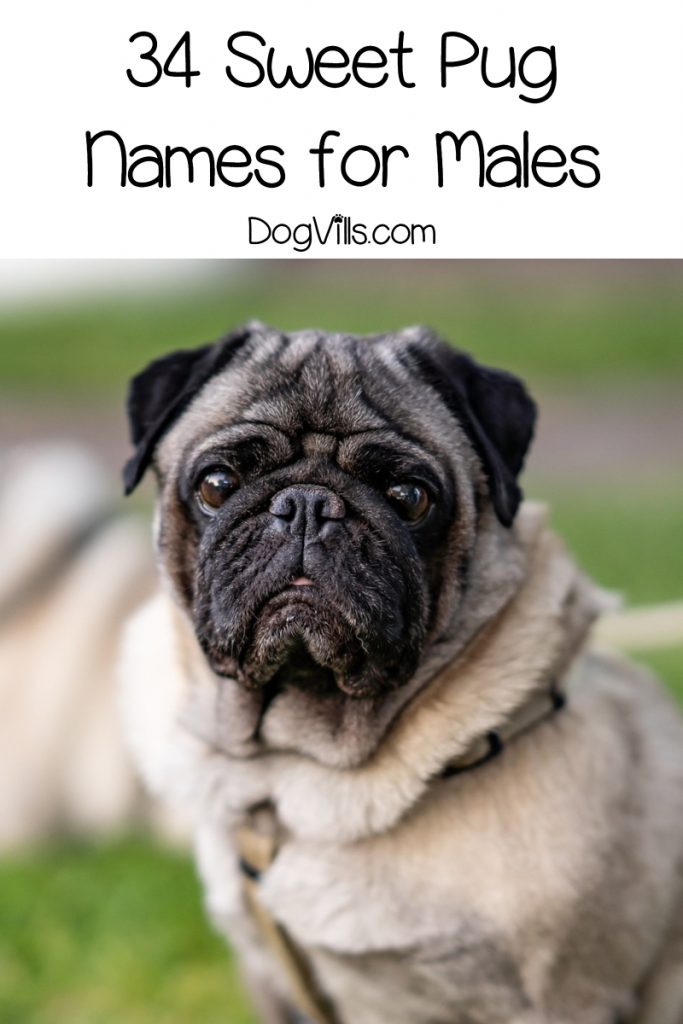 Did I hear you say that you're looking for pug dog names? Well, you're in luck! We've got 66 of them for you! Check them out!