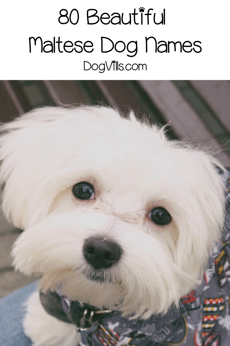 80 Beautiful Maltese Dog Names For Your New Pup