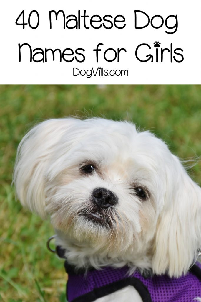 If you're looking for male Maltese dog names, you're going to love our list! We have 40 beautiful ideas inspired by the breed and their origin!
