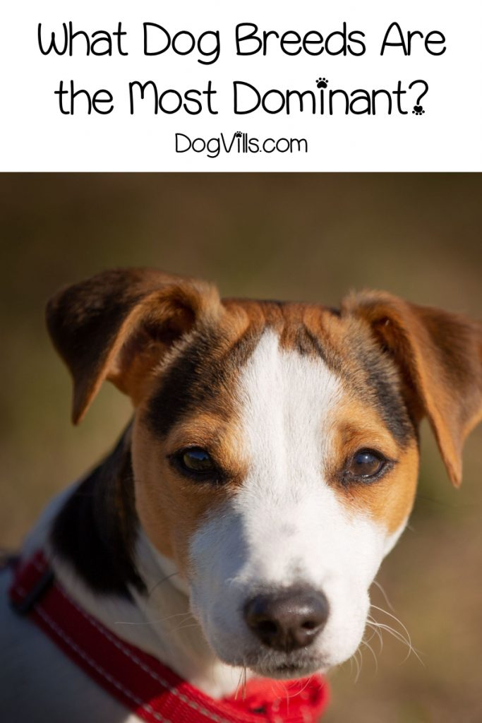 Wondering about the most dominant dog breeds? If you're becoming a first-time dog owner, you should be! Read on to learn which dogs are the bossiest!