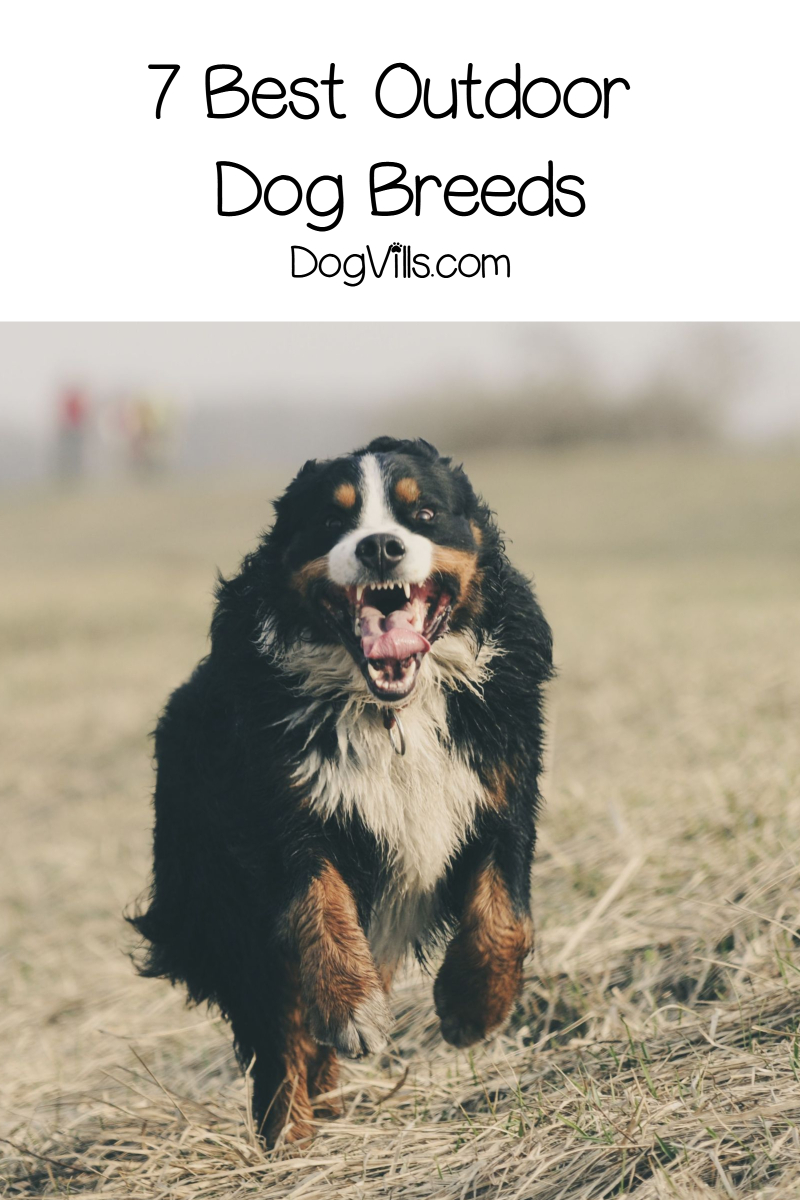 7 Best Outdoor Dog Breeds