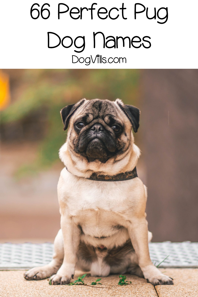 66 Perfect Pug Dog Names for Male & Female Pups