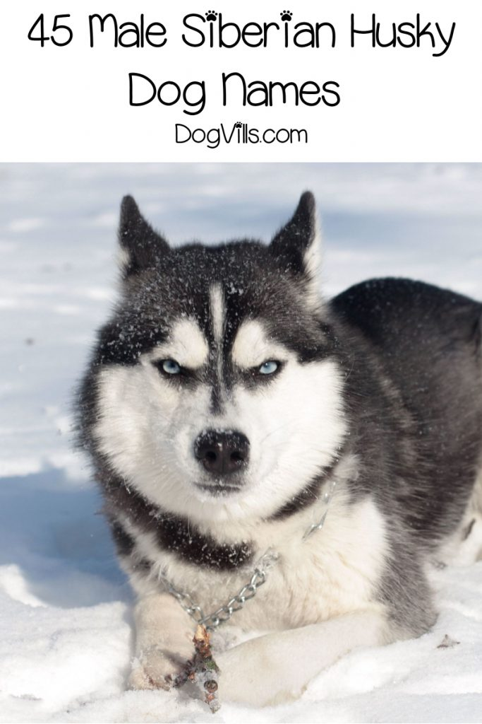 If you're looking for some really fantastic Siberian Husky dog names, get ready to be inspired! Check out 90 that we love, inspired by their origins, wolf-like appearance and more!