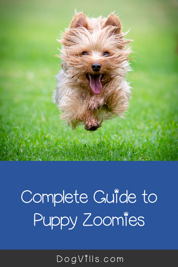 Puppy zoomies are a perfectly natural, benign puppy behavior. Read on to learn more about why pups zoom & what, if anything, to do about it.