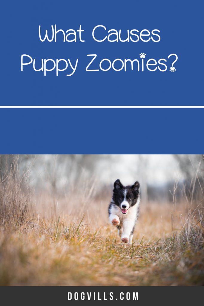 What causes puppy zoomies? Read on to find out the answer + what, if anything, to do about it!