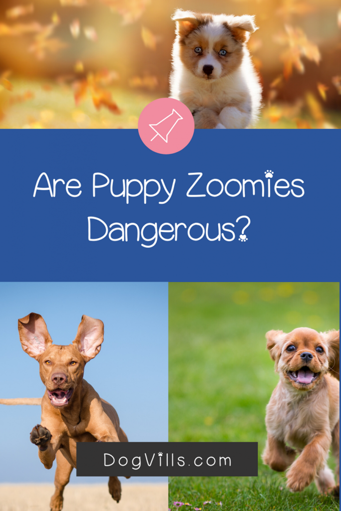 Are puppy zoomies dangerous to your pet? Find out the answer!