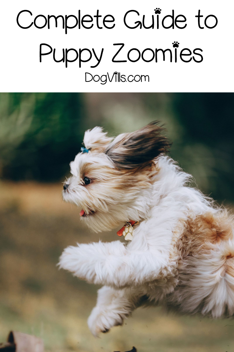Puppy Zoomies – All About This Instagram-Worthy Behavior