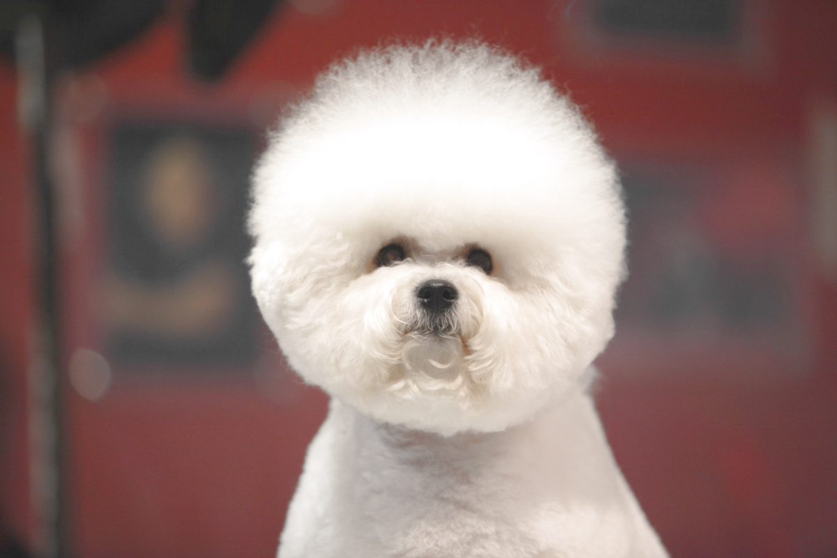 If you're looking for a cute dog to keep stress away, what better choice than a Bichon Frise?