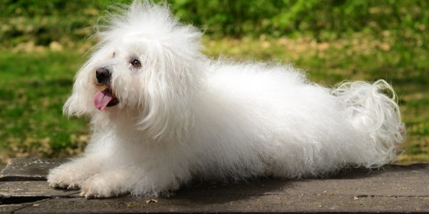Are you looking for easy hypoallergenic dogs that don't shed much (or better yet, at all)? Check out these top 7 low-maintenance breeds!