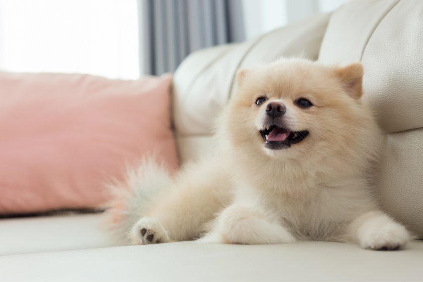 The Pomeranian is one of the dog breeds that looks like a teddy bear.