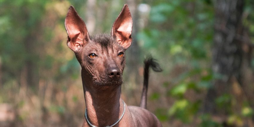 The Mexican Hairless dog, also known as Xoloitzcuintli, is another low-maintenance hypoallergenic dog.