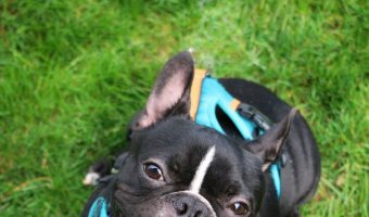 Are French Bulldogs hypoallergenic? Find out the answer and discover why (or why not). Plus, learn more about what causes dog allergies.