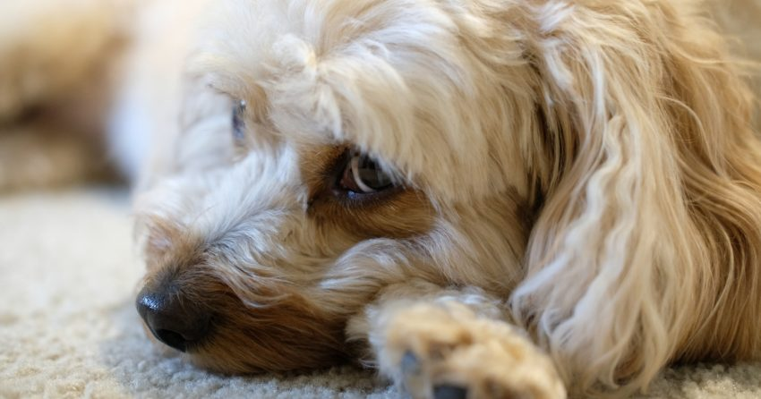 If you're looking for the best dog beds for Cavapoos, I've got you covered! Take a look at our top 5 picks, along with their pros and cons!
