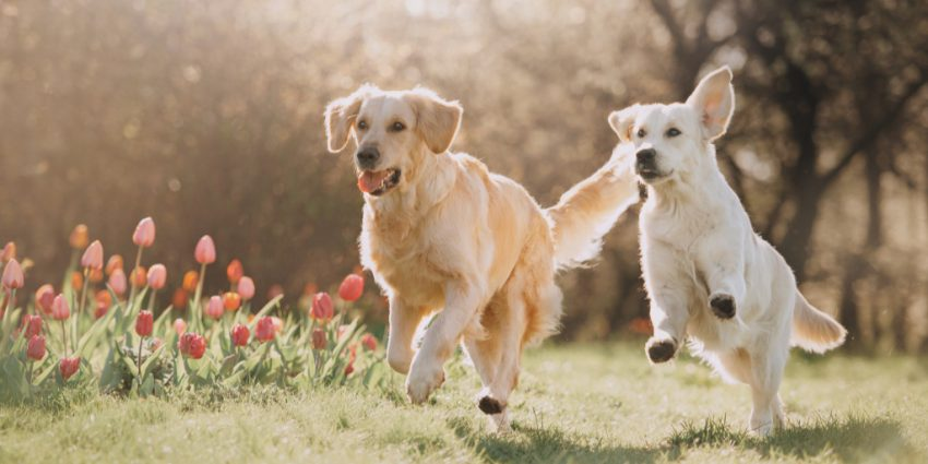 Is it better to have two dogs instead of just one lone pup? That's what we're exploring today! Read on to learn about the benefits of 2 dogs