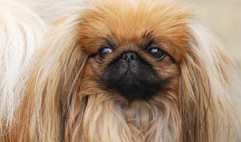 They are definitely one of the most majestic small breeds, but are Pekingese hypoallergenic dogs? Read on to discover the answer!