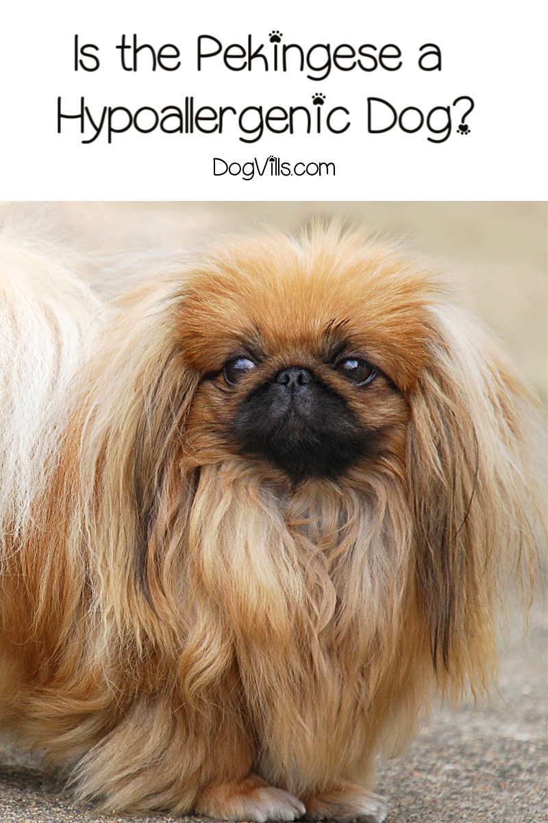 Are Pekingese Hypoallergenic Dogs?