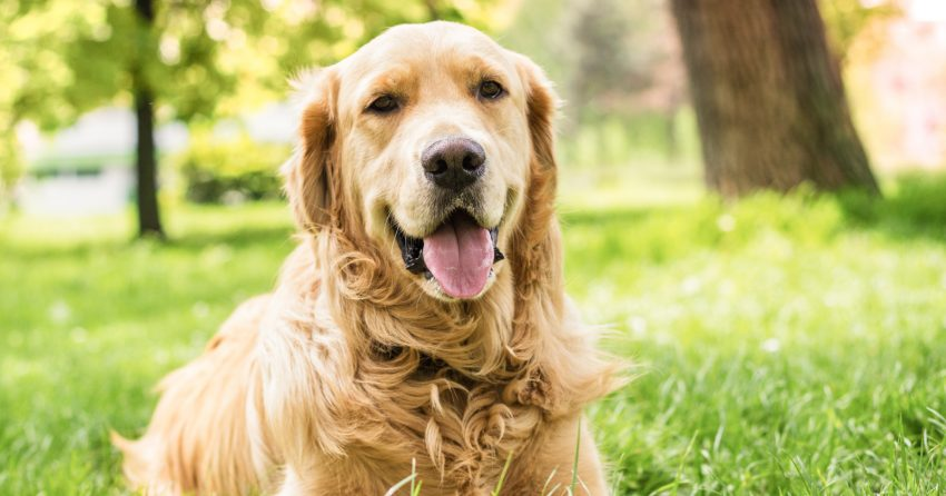 On the hunt for some clever Golden Retriever dog names? Then you'll love our list! Check out 100 adorable ideas that we love!