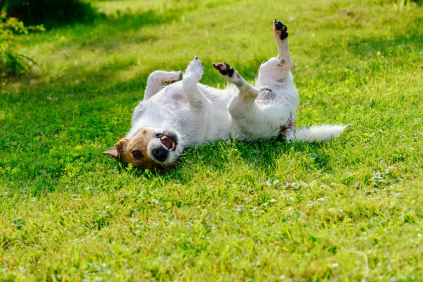 Why do dogs roll in the grass? Is it normal or something to worry about? Read on to find out the answers to this odd dog behavior.