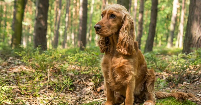 Are Cocker Spaniels hypoallergenic dogs? Let's see if they're as easy on our allergies as they are to fall in love with! Take a look!